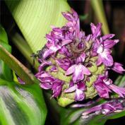 Салатея зебрина (Calathea zebrina)