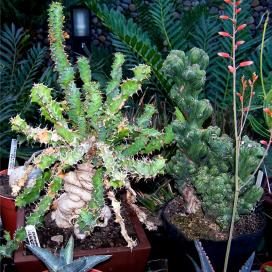 Молочай крупнокорневой (Euphorbia clavigera)