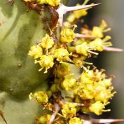 Молочай голубоватый (Euphorbia coerulescens)