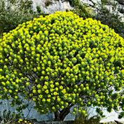 Молочай кипарисовый (Euphorbia cyparissias)