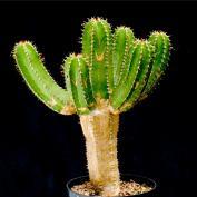 Молочай-колючка (Euphorbia echinus)