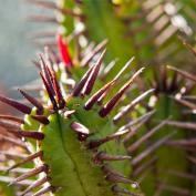 Молочай энопла (Euphorbia enopla)