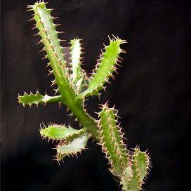Молочай Иванса (Euphorbia evansii)