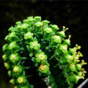 Молочай бахромчатый (Euphorbia fimbriata)