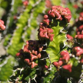 Молочай крупнокрыловидный (Euphorbia grandialata)