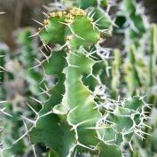 Молочай крупнорогий (Euphorbia grandicornis)