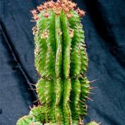 Молочай ощетиненный (Euphorbia horrida)