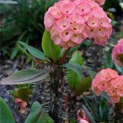 Молочай гребенчатореберный (Euphorbia lophogona)