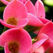Молочай гребенчатореберный (Euphorbia lophogona