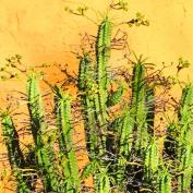 Молочай панцирный (Euphorbia loricata)