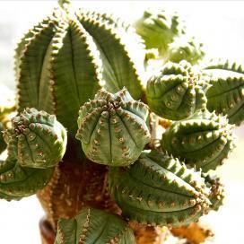 Молочай сосочковый (Euphorbia mammilaris)