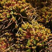 Молочай многогранный (Euphorbia polygona)