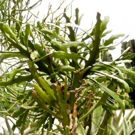 Молочай плосковеткий (Euphorbia ramipressa)