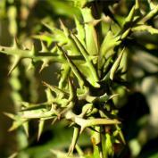 Молочай узковеточный (Euphorbia stenoclada)