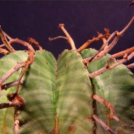 Молочай сильный (Euphorbia valida)