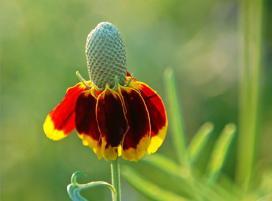 Рудбекия обхватывающая (Rudbeckia amplexicaulis)