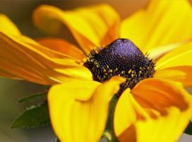 Рудбекия блестящая (Rudbeckia fulgida)