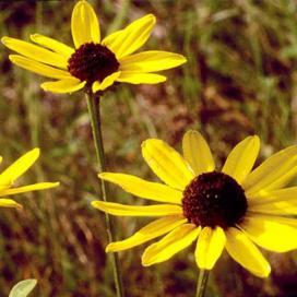 Рудбекия солнцеглядная (Rudbeckia heliopsidis)