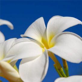 Плюмерия белая (Plumeria alba)