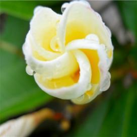 Плюмерия (Plumeria)