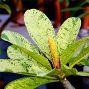 Плюмерия пестролистная(Plumeria variegata)