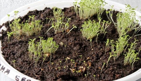 Выращивание рассады, неделя третья