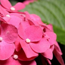 Гортензия крупнолистная (Hydrangea macrophylla)