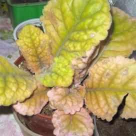 Листья глоксинии желтеют или краснеют, обесцвечиваются