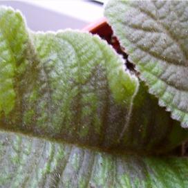 Листья глоксинии чернеют