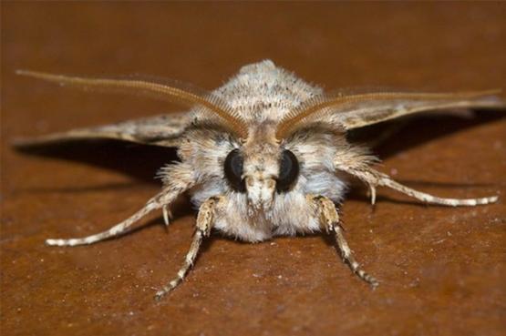 Ночная бабочка озимая совка (Agrotis segetum). Прям, как самолет :)