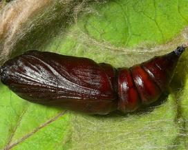 Куколка озимой совки (Agrotis segetum)