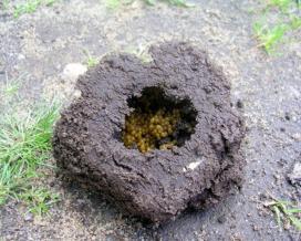 Гнездо с яйцекладкой медведки обыкновенной