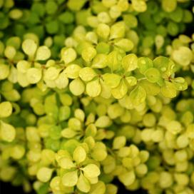 Барбарис Тунберга (Berberis thunbergii Aurea)