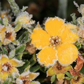 Лапчатка кустарниковая (Dasiphora fruticosa)