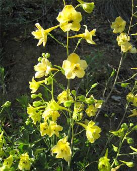 Дельфиниум желтый (Delphinium luteum)