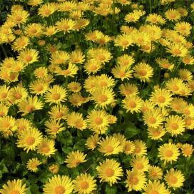 Дороникум (Doronicum orientale Miss Mason)