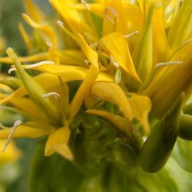 Горечавка желтая (Gentiana lutea)