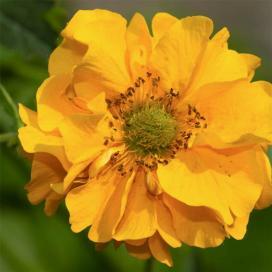 Гравилат чилийский (Yellow Geum)
