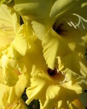 Гладиолус (Gladiolus)