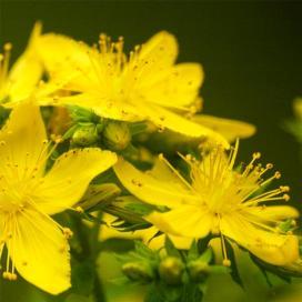 Зверобой продырявленный (Hypericum perforatum)