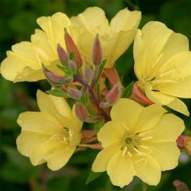 Энотера (Oenothera elata)