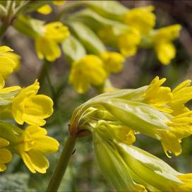 Желтая примула - первоцвет