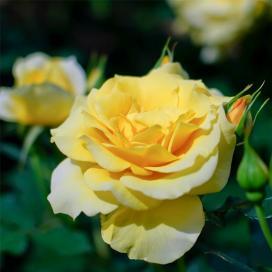 Желтая роза (Yellow Rose)
