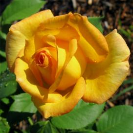 Желтая роза (Yellow Rose)