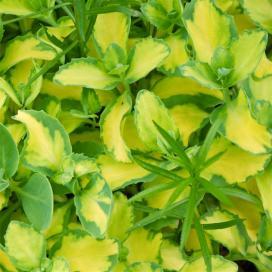 Седум, или очиток ауреа (Sedum Aurea)