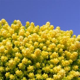 Седум (Yellow Sedum acre)