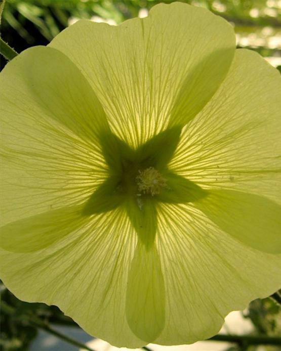 Шток-роза (Yellow alcea)