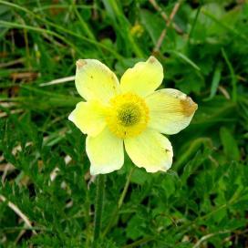 Анемона желтая (Yellow anemone)