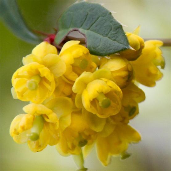 Барбарис (berberis vulgaris)