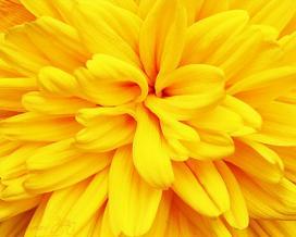 Георгина многолетняя (Yellow dahlia)
